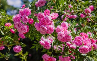 A close up horizontal image of bright pink roses growing in the garden pictured in bright sunshine on a soft focus background.