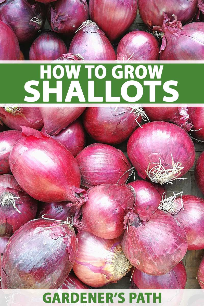 A vertical close up image of a pile of red shallots set on a wooden surface, with thin papery skin and small dried roots. To the top and bottom of the frame is green and white printed text.
