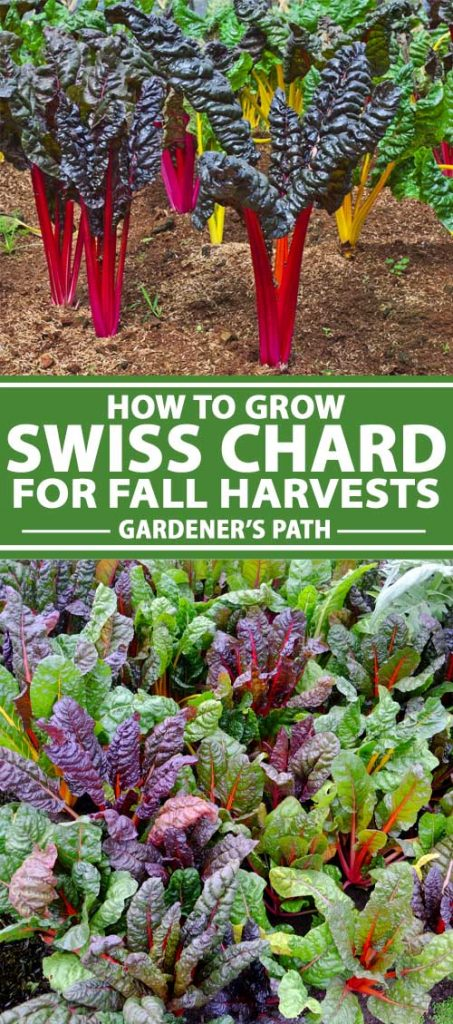 A collage of photos showing Swiss chard growing in an autumn vegetable garden.