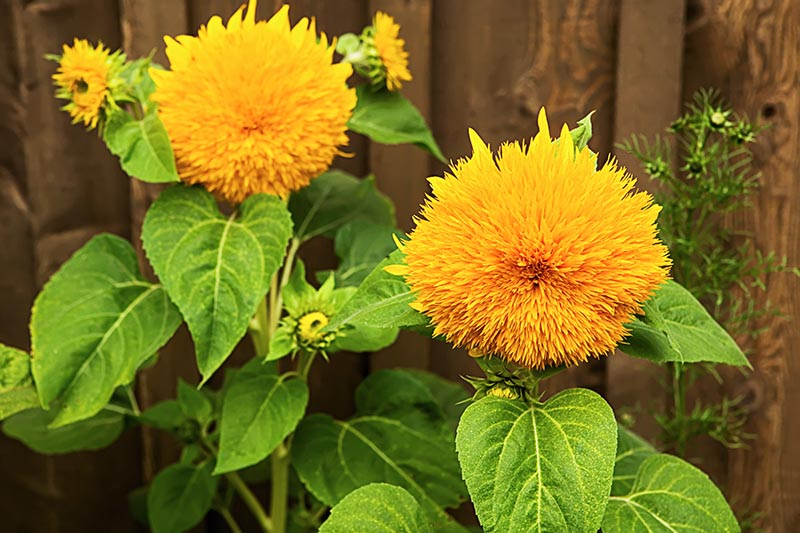 A close up horizontal picture of two bright yellow blooms of Helianthus annuus 'Teddy Bear' growing in the garden with a wooden fence in soft focus in the background, pictured in bright sunshine.