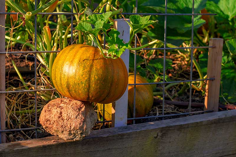 A close up horizontal image of a large pumpkin with the vine trained to grow vertically and the fruit supported by a large rock on the side of a raised wooden garden bed.