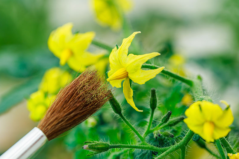 A close up horizontal image of a paintbrush from the left of the frame pollinating a small yellow tomato flower pictured on a soft focus background.