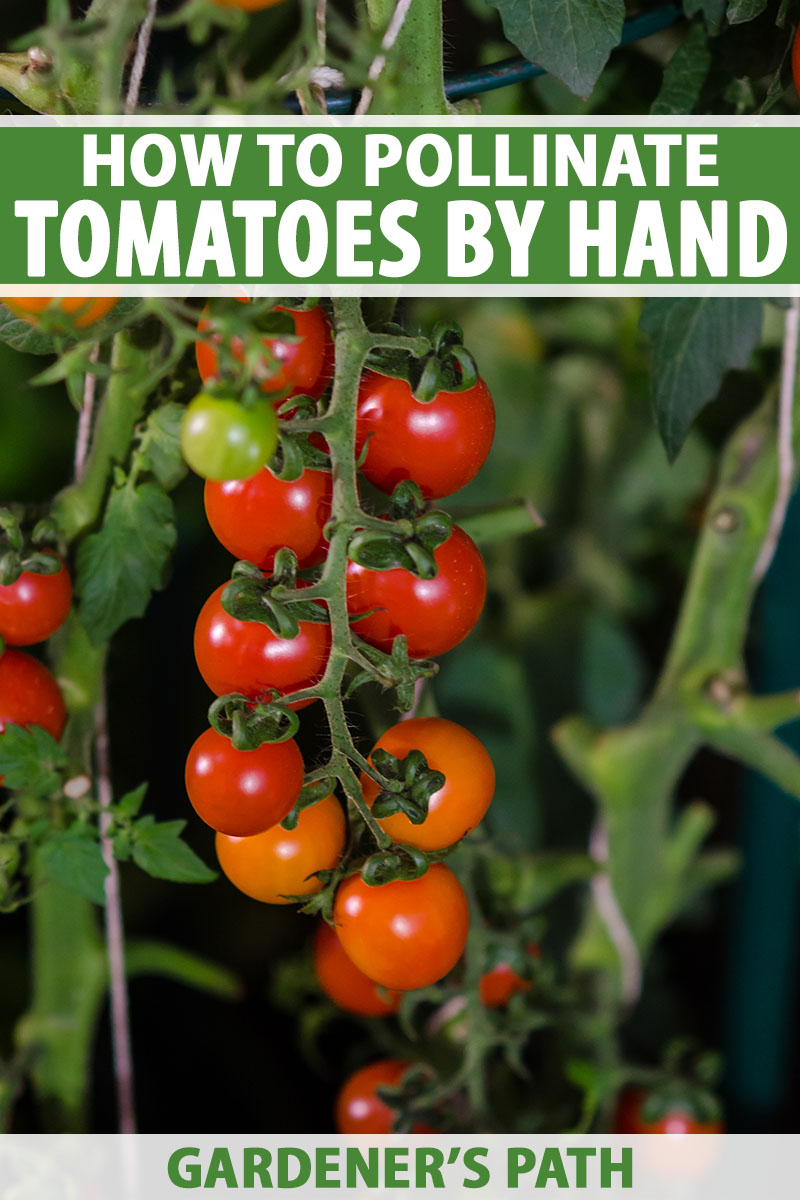 A close up vertical image of a cluster of ripe cherry tomatoes growing on the vine on a dark soft focus background. To the top and bottom of the frame is green and white printed text.