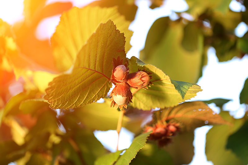 A close up horizontal image of filberts ripening on a tree pictured in light evening sunshine, surrounded by foliage in soft focus in the background.
