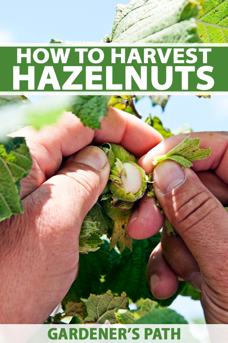A vertical image of two hands inspecting hazelnuts for harvest pictured in bright sunshine with foliage and blue sky in the background. To the top and bottom of the frame is green and white printed text.