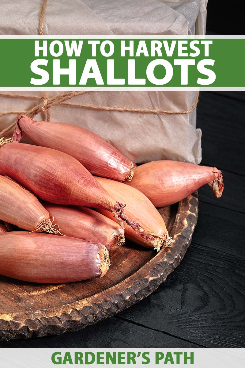 A close up horizontal image of elongated shallots harvested and dried, set on a wooden tray on a dark rustic wood surface. To the top and bottom of the frame is green and white printed text.