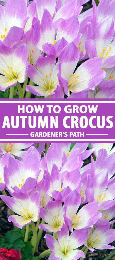 A collage of photos showing autumn crocus plants in bloom.