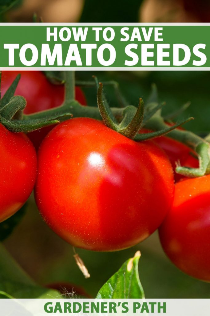 A vertical close up image of a cluster of ripe red tomatoes on the vine, pictured in light sunshine on a soft focus background. To the top and bottom of the frame is green and white printed text.