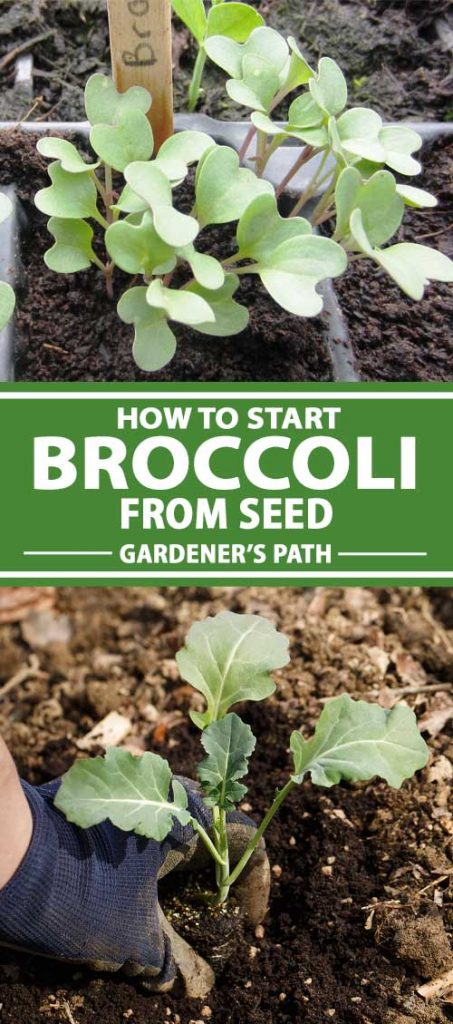 A collage of photos showing broccoli seedlings.
