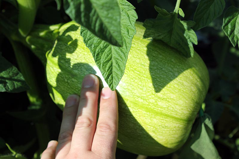A close up horizontal image of a hand from the bottom of the frame pointing to a small green gourd growing in the garden, pictured in bright sunshine on a dark soft focus background.