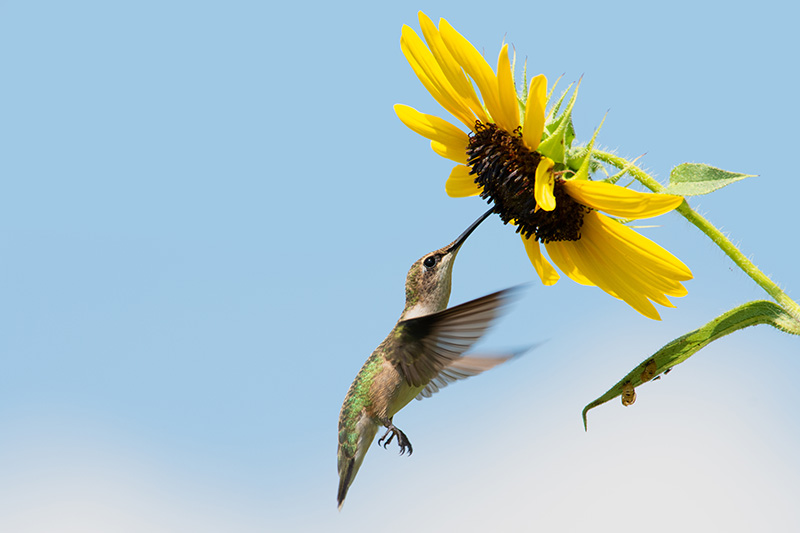 A close up horizontal image of a hummingbird feeding on ripe sunflower seeds on a blue sky background.