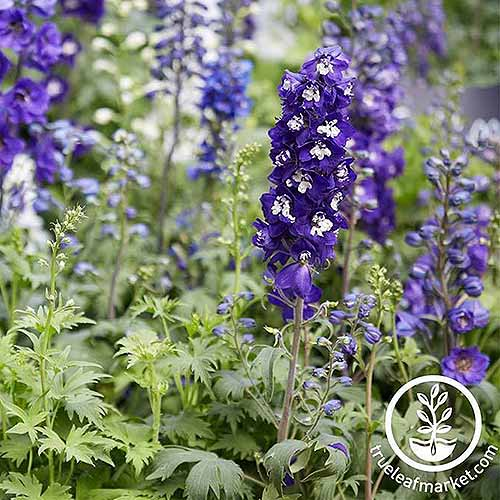 A square cropped image of a white and purple 'Improved Sky Blue' delphinium flowers growing in the garden. To the bottom right of the frame is a white circular logo and text.