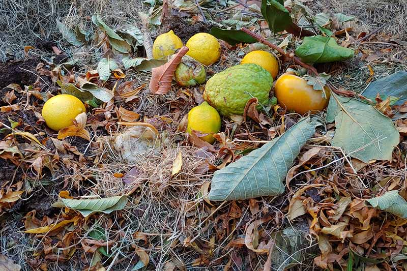 A close up horizontal image of kitchen scraps placed on a compost pile with dried leaves.