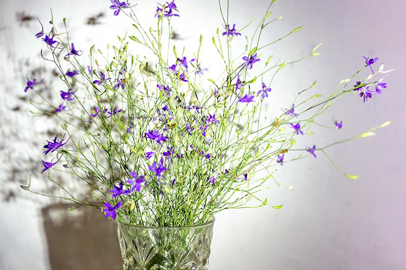 A close up horizontal image of a glass vase with delicate stems of tiny purple flowers on a white soft focus background.
