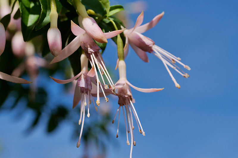 A close up horizontal image of light pink, delicate fuchsia flowers growing in the garden against a blue sky background.