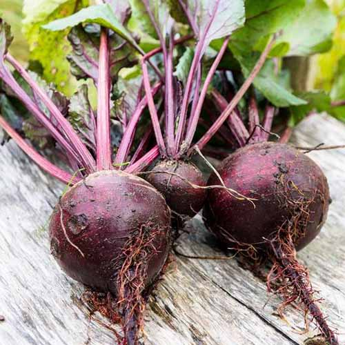 A close up square image of freshly harvested 'Lutz Green Leaf' beets with soil on the roots and the tops still attached, set on a wooden surface.