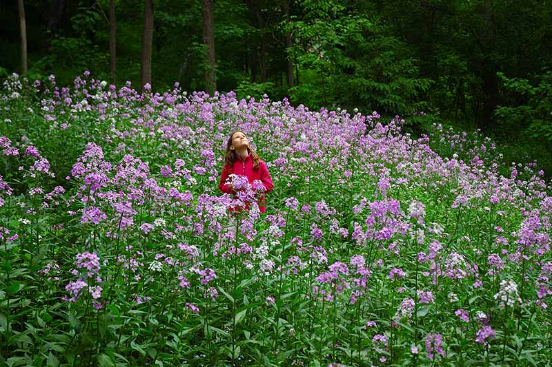 A horizontal image of a young woman in a meadow of dame's rocket flowers with trees in soft focus in the background.