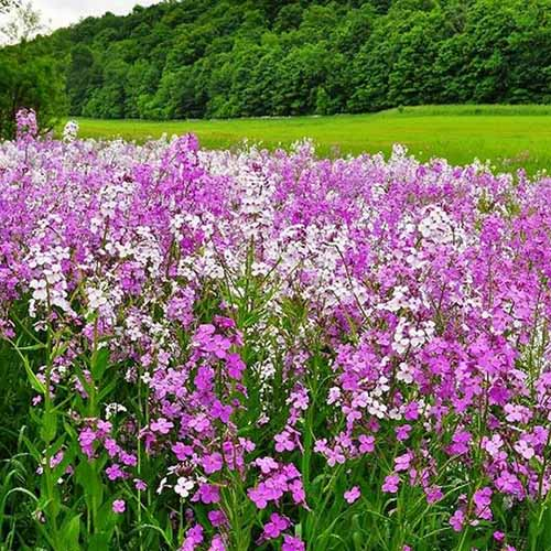 A field of pink, purple, and white dame's rocket flowers growing in a meadow, with a field and trees in soft focus in the background.