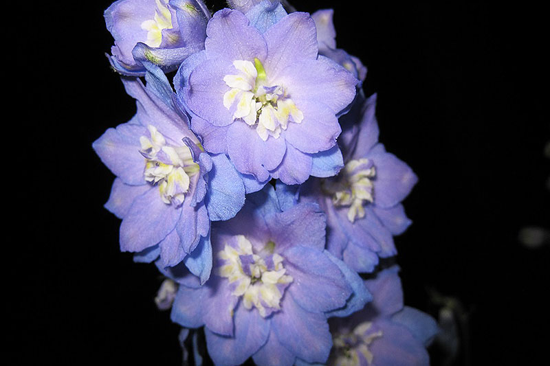A close up horizontal image of a light purple delphinium 'Morning Lights' flower pictured on a dark background.
