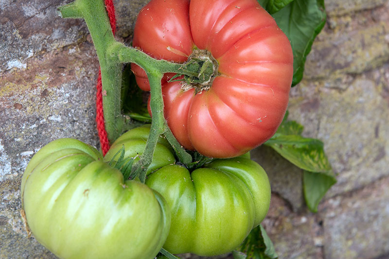 A close up horizontal picture of two green and one red ripe heirloom 'Mortgage Lifter' tomatoes growing against a stone wall, tied to a wooden stake with red string.