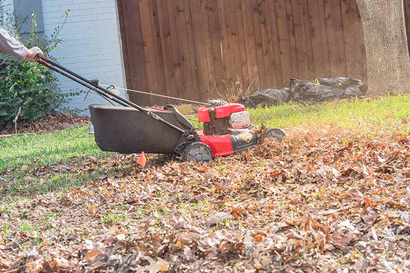 A horizontal image of a lawnmower shredding fallen leaves in the autumn garden with a wooden fence in soft focus in the background.