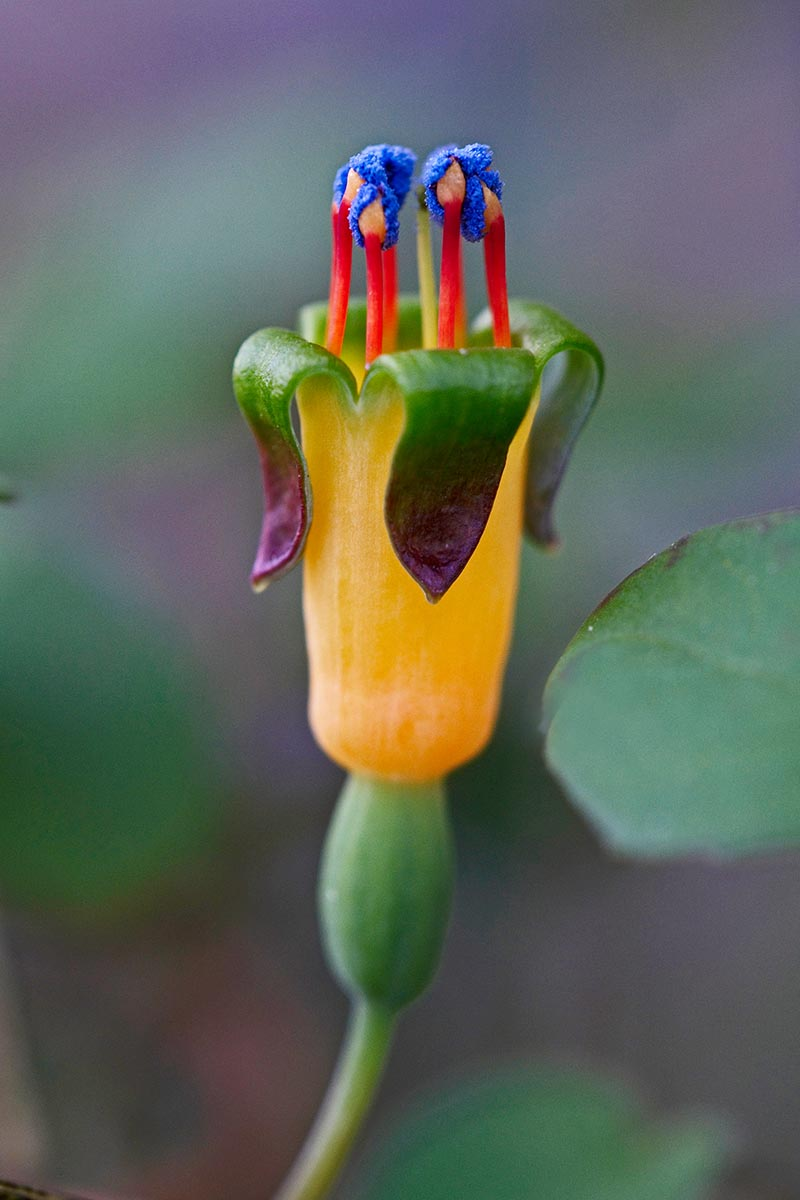 A vertical close up image of the yellow, red, and blue flower of Fuchsia procumbens, a creeping variety native to New Zealand, pictured on a green soft focus background.