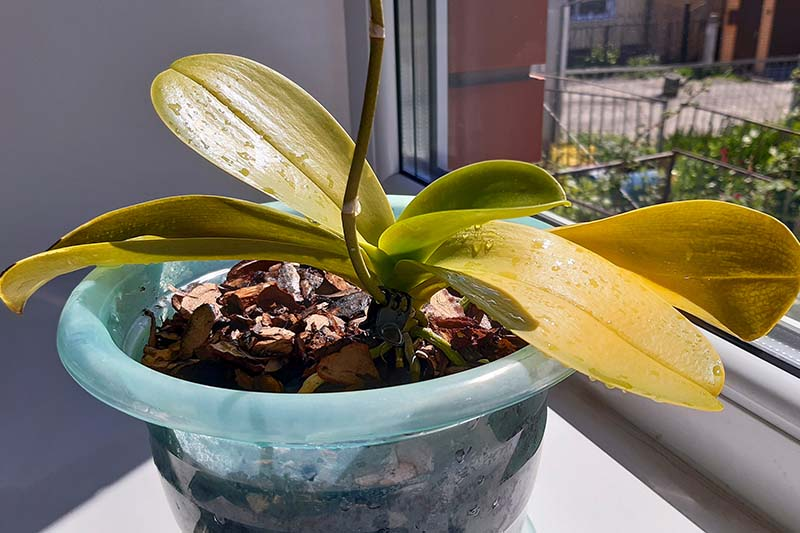 A close up horizontal image of an orchid plant with yellow leaves in a large plastic pot set on a windowsill.