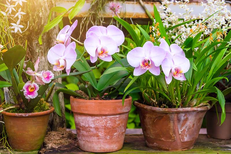 A close up horizontal image of orchids growing in terra cotta pots in a conservatory.