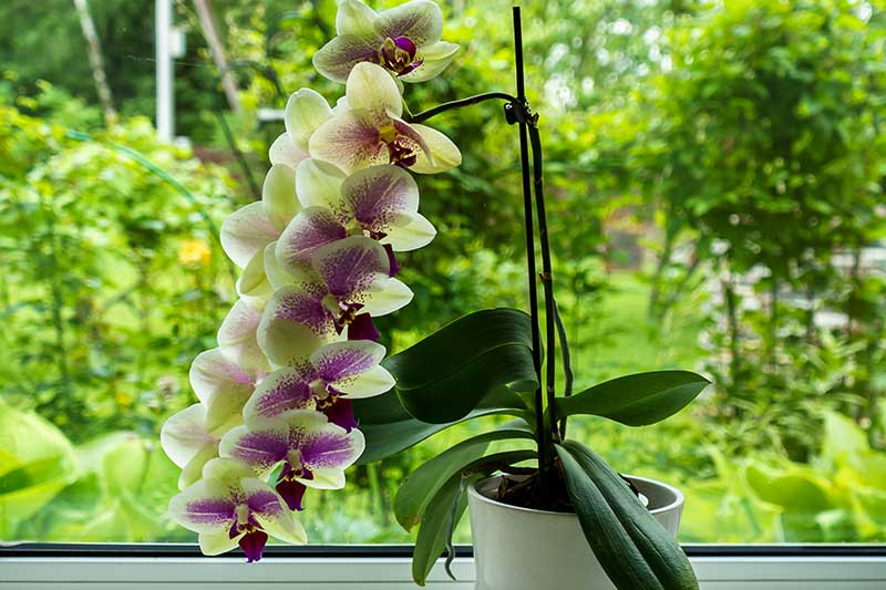 A horizontal image of a flowering orchid growing on a windowsill with a garden scene in soft focus in the background.