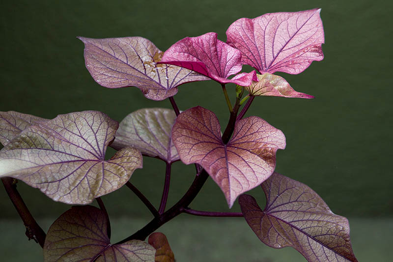 A close up horizontal image of the deep purple foliage of ornamental Ipomoea batatas, pictured on a soft focus background.