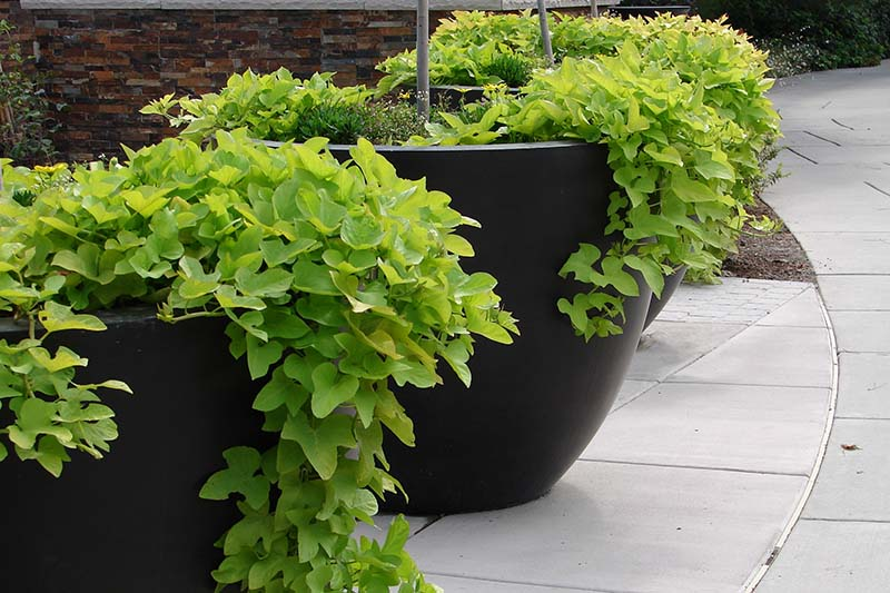 A close up horizontal image of large black containers growing ornamental Ipomoea batatas spilling over the edge, set on a concrete paved surface with a brick wall in the background.