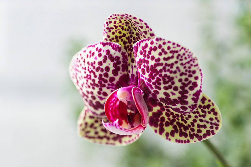 A close up horizontal image of a spotted flower (Phalaenopsis) pictured on a soft focus background.