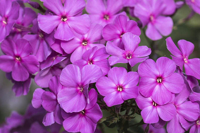 A close up of the bright pink flowers of native phlox, Phlox paniculata, growing in the garden, pictured on a soft focus background.