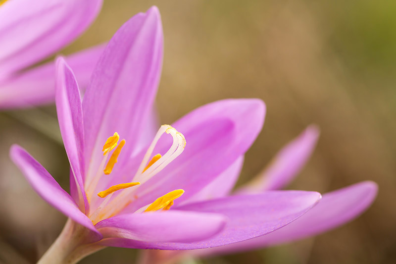 A close up horizontal image of a pink Colchicum autumnale flower blooming in the fall garden, pictured on a soft focus background.