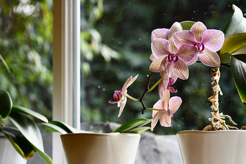 A close up horizontal image of orchids growing in small pots on a windowsill with a garden scene in soft focus in the background.