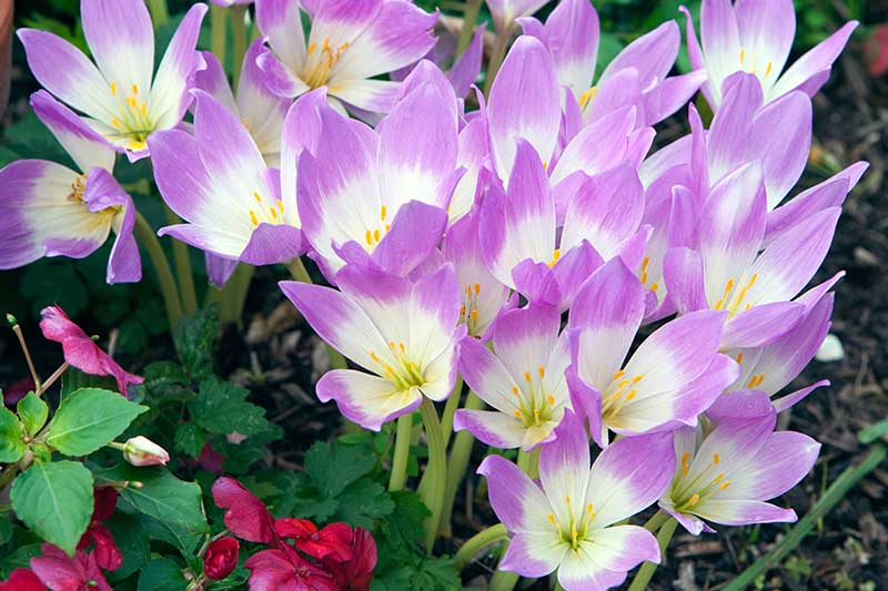A close up horizontal image of purple and white Colchicum autumnale blooming in the garden surrounded by foliage in soft focus.