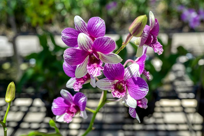 A close up horizontal image of pink and white Dendrobium orchid flowers pictured in bright sunshine on a soft focus background.