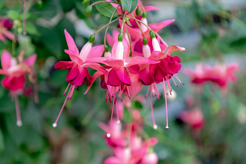A close up horizontal image of red and white Fuchsia megellanica flowers growing in a cluster, pictured on a soft focus background.