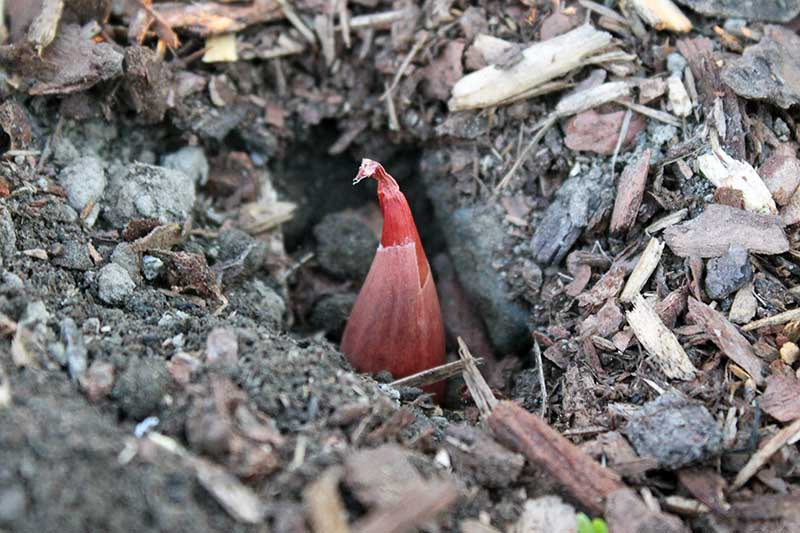 A close up horizontal image of a freshly planted shallot bulb in dark rich soil with the pointed end sticking up above the soil.