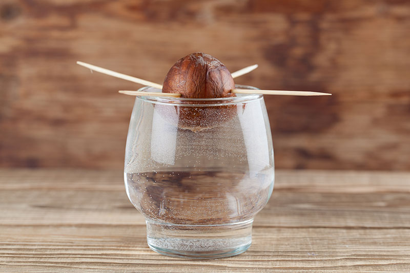 A close up horizontal image of a small glass with an avocado seed held in the water with toothpicks, set on a wooden surface with a wooden wall in the background.