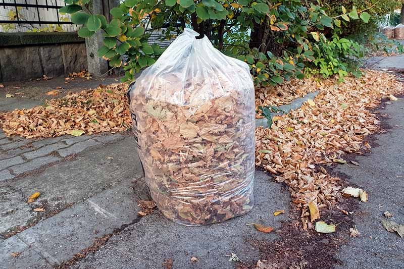 A close up horizontal image of a clear plastic bag set on a sidewalk filled with autumn leaves with a fence and shrub in the background.