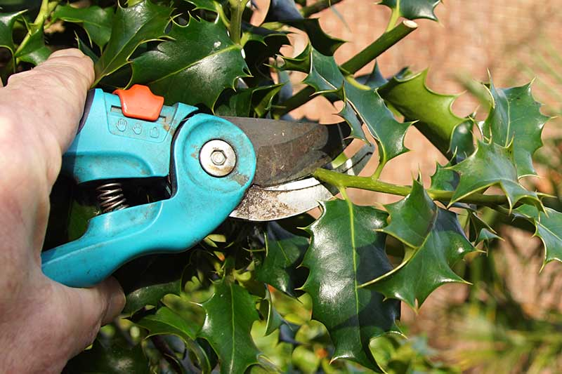 A close up horizontal image of a hand from the left of the frame holding pair of pruning shears trimming an evergreen holly shrub.