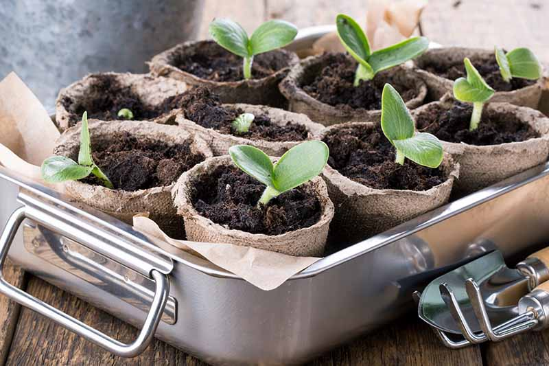 A close up horizontal image of a metal tray set on a wooden surface containing biodegradable pots with tiny growing seedlings, on a soft focus background.