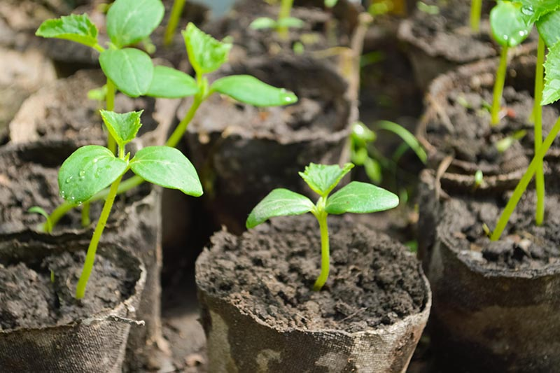 A close up horizontal image of little green seedlings in biodegradable pots ready for planting out into the garden.