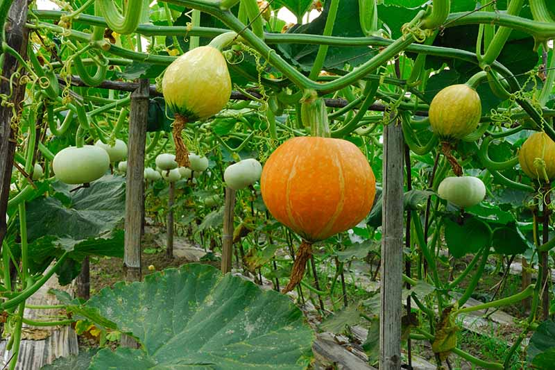 A horizontal image of pumpkins growing from the vines trained to grow vertically in a greenhouse.