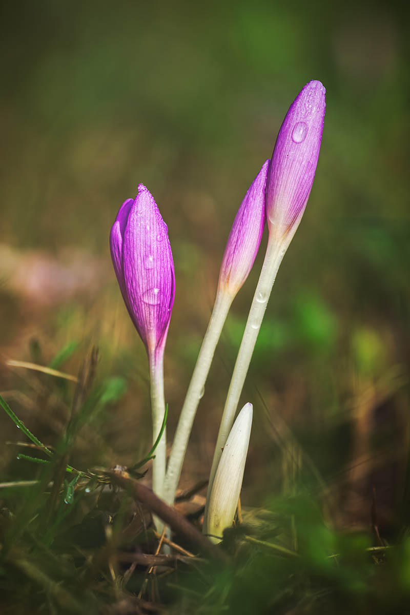 A vertical close up image of small purple Colchicum autumnale just starting to bloom in the fall garden, pictured on a soft focus background.