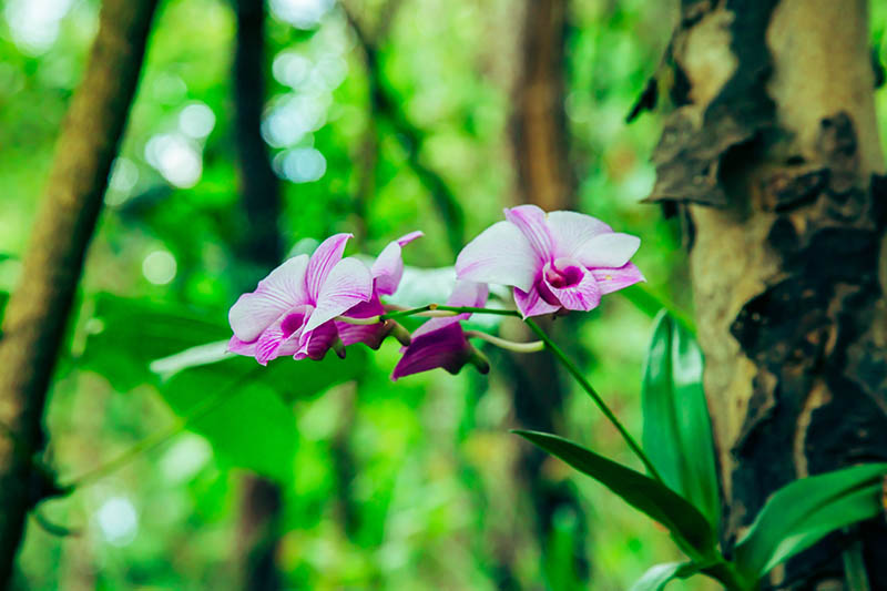 A close up horizontal image of small pink and white orchid flowers growing in a forest pictured on a soft focus background.