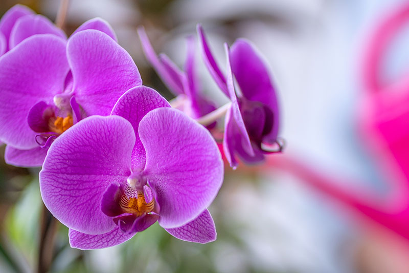 A close up horizontal image of bright pinky-purple orchid flowers isolated on a soft focus background.