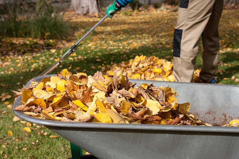 A close up horizontal image of a wheelbarrow containing freshly collected autumn leaves. In the background is a gardener raking leaves from the lawn, pictured in light sunshine.