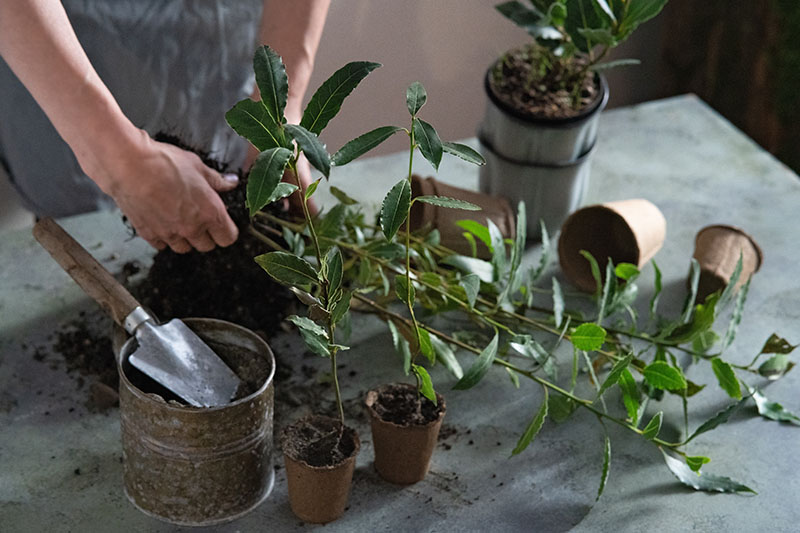 A close up horizontal image of hands from the left of the frame loosening the root ball of a potted plant to place into a container. On the surface surrounding it are various seedlings planted in biodegradable pots and garden tools.